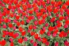 Tulipanes rojos y rosados en el parque como fondo floral Fotos de archivo libres de regalías