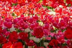 Tulipanes rojos y rosados hermosos en tiempo soleado en Holanda imágenes de archivo libres de regalías