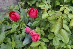 Tulipanes rojos y rosas que encrespan el arbusto Imagen de archivo