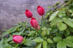 Tulipanes rojos y rosas que enrollan el arbusto Imagen de archivo