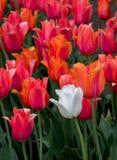 Tulipanes rojos y un blanco fotografía de archivo