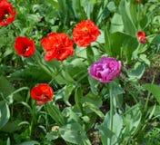 Tulipanes rojos y violetas en macizo de flores Fotografía de archivo libre de regalías