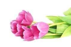 Tulipanes rosados Fotografía de archivo