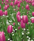 Tulipanes rosados Imágenes de archivo libres de regalías