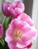 Tulipanes rosados Imagen de archivo