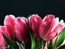 Tulipanes rosados Imagen de archivo libre de regalías