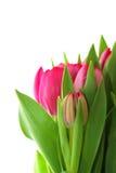 Tulipanes rosados Foto de archivo libre de regalías