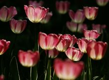 Tulipanes rosados fotos de archivo libres de regalías