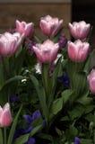 Tulipanes rosados Fotos de archivo
