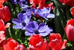 Tulipanes rosados alrededor de Anemone Flowers púrpura fotos de archivo libres de regalías