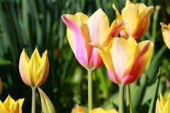 Tulipanes rosados amarillos Imagen de archivo libre de regalías