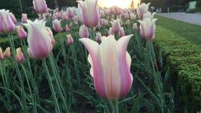 Tulipanes rosados blancos en el jardín en el día caliente almacen de video