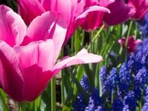 Tulipanes rosados brillantes con el jacinto de uva Imagen de archivo