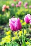 Tulipanes rosados con el abejorro en el jardín, primavera Fotos de archivo libres de regalías