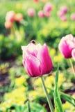 Tulipanes rosados con el abejorro en el jardín, filtro retro Foto de archivo