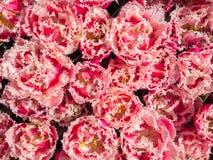 Tulipanes rosados con los bordes dentados Imagen de archivo