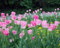 Tulipanes rosados de la dinastía de Triump en parque de la primavera Foto de archivo