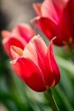 Tulipanes rosados delicados en macizo de flores, Imágenes de archivo libres de regalías