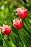 Tulipanes rosados delicados hermosos en el macizo de flores Fotografía de archivo