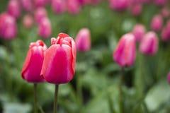 Tulipanes rosados en cierre del campo encima de dos flores fotos de archivo