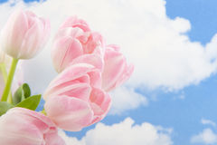 Tulipanes rosados en el cielo azul Imagen de archivo