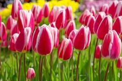 Tulipanes rosados en el jardín Imagenes de archivo