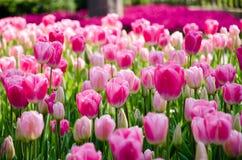 Tulipanes rosados en el parque fotografía de archivo libre de regalías