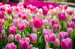 Tulipanes rosados en el parque fotos de archivo libres de regalías