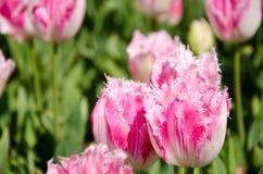 Tulipanes rosados en el parque fotografía de archivo