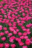 Tulipanes rosados en el parque 3 de la ciudad fotografía de archivo