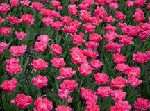 Tulipanes rosados en el parque 5 de la ciudad foto de archivo