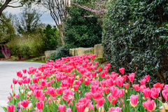 Tulipanes rosados en jardín por el camino de piedra con los árboles y el shr del redbud Fotos de archivo