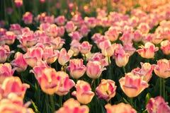 Tulipanes rosados en la luz del sol Imagenes de archivo
