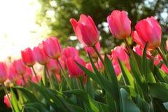 Tulipanes rosados en resorte Imagen de archivo libre de regalías
