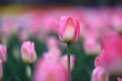 Tulipanes rosados en resorte Imagenes de archivo