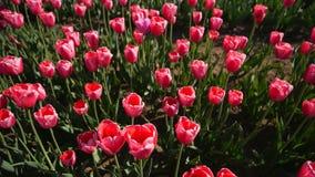 Tulipanes rosados en un campo