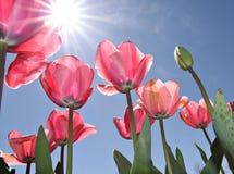 Tulipanes rosados - festival de Floriade de Canberra Imágenes de archivo libres de regalías
