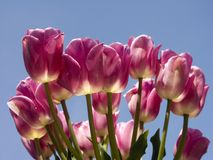 Tulipanes rosados - flor Boquet Fotografía de archivo