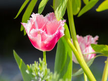 Tulipanes rosados franjados Foto de archivo libre de regalías