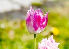 Tulipanes rosados franjados Imagen de archivo