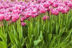 Tulipanes rosados franjados florecientes en el parque en primavera imagen de archivo