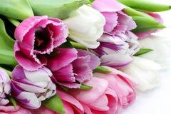 Tulipanes rosados frescos Fotos de archivo libres de regalías