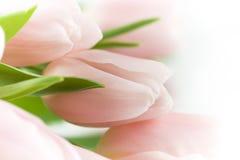 Tulipanes rosados hermosos Imagen de archivo libre de regalías