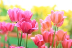Tulipanes rosados hermosos en el tiempo de primavera Tiro macro Primer de Fotos de archivo