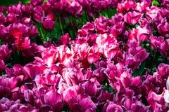 Tulipanes rosados hermosos en tiempo soleado en Holanda imagenes de archivo