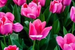 Tulipanes rosados hermosos en tiempo soleado en Holanda foto de archivo