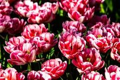Tulipanes rosados hermosos en tiempo soleado en Holanda fotografía de archivo libre de regalías