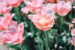 Tulipanes rosados hermosos en un macizo de flores con la luz soleada foto de archivo