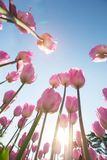 Tulipanes rosados hermosos en un macizo de flores con la luz soleada imagenes de archivo