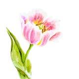 Tulipanes rosados, pintura de la acuarela Fotografía de archivo libre de regalías